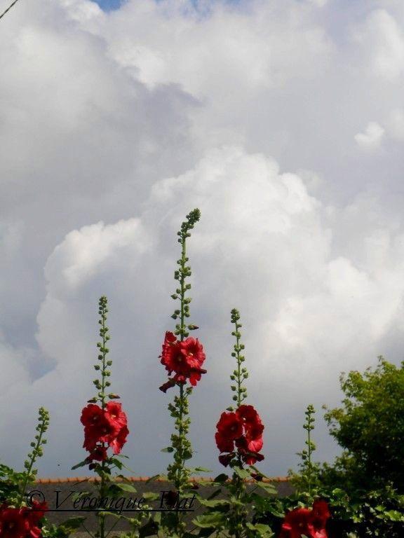roses trémières contre nuages