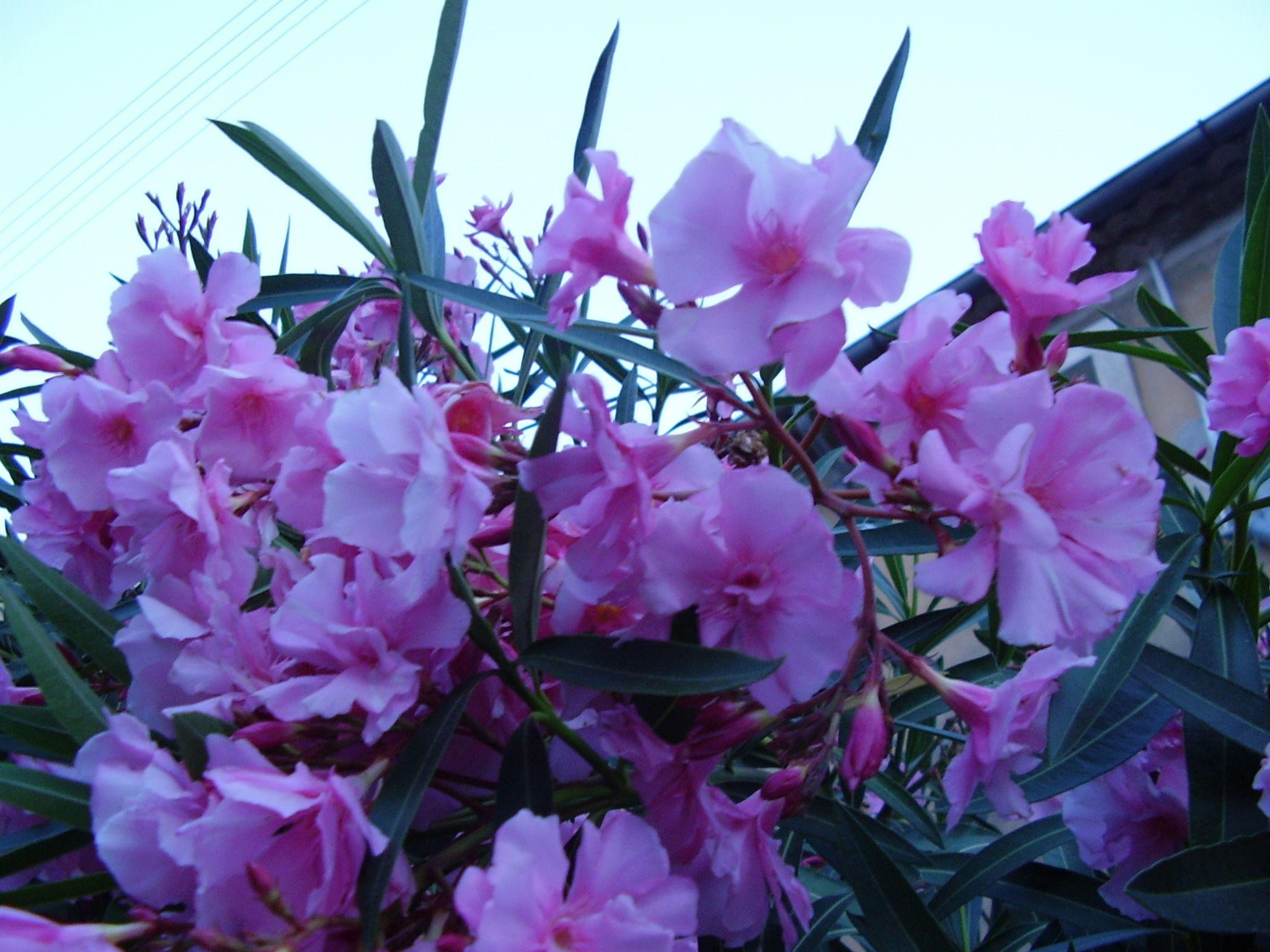 Fleurs for Quand rempoter un laurier rose