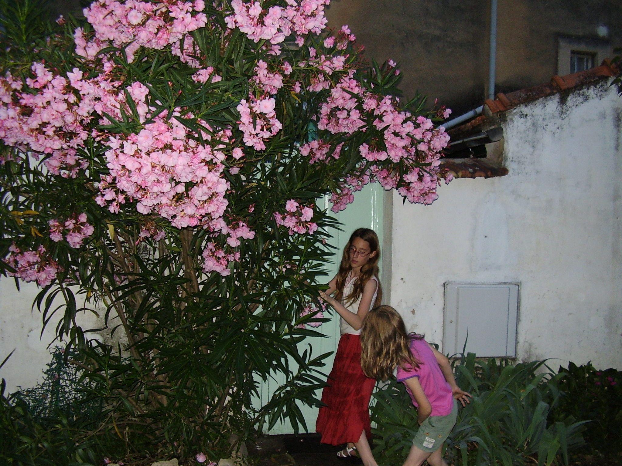 Laurier rose tr s parfum - Arrosage laurier rose en pot ...