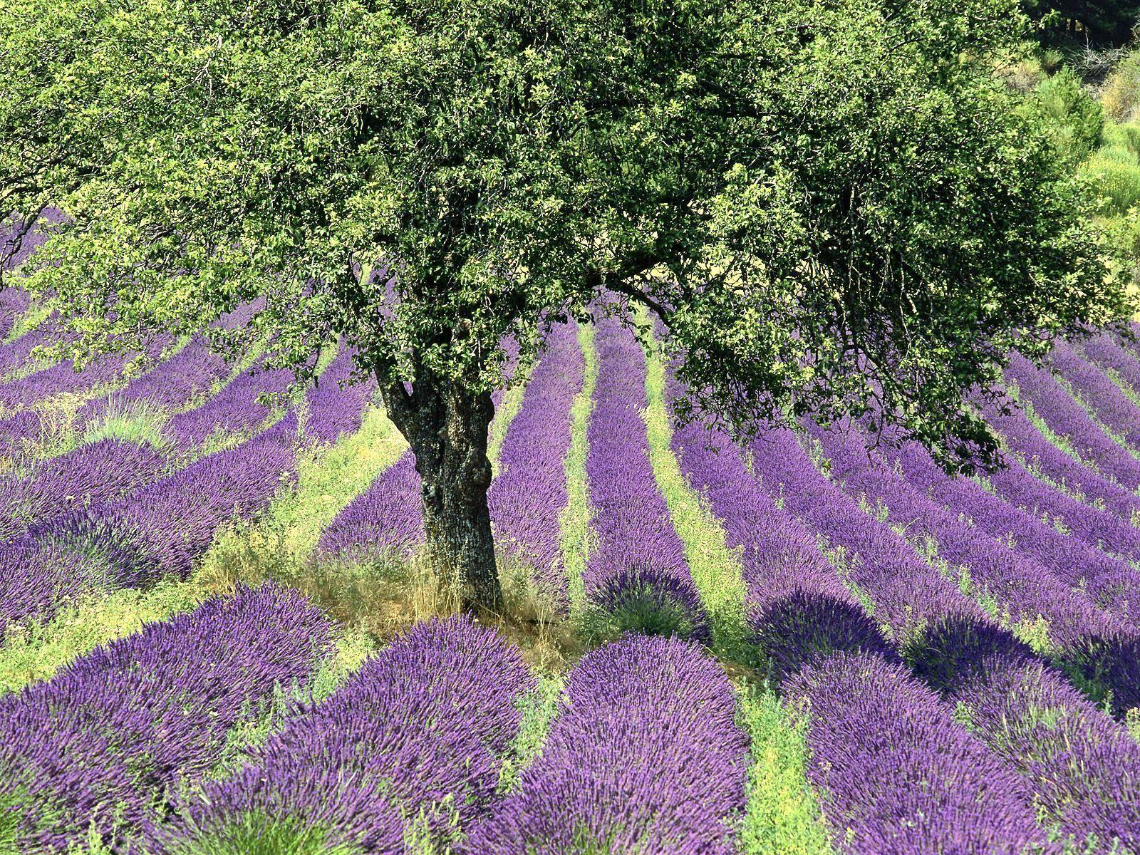 Provence page 2 - Plants de lavande a vendre ...